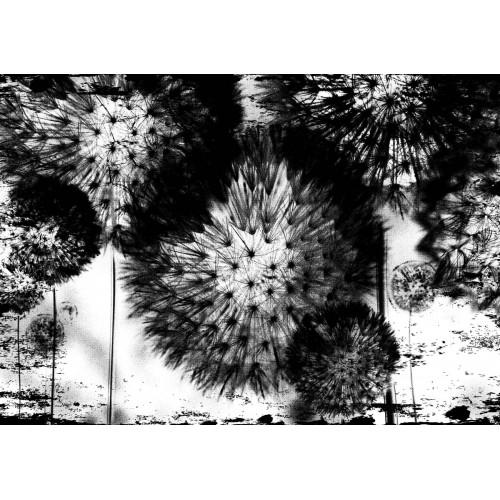 Păpădii monocrome - fototapet