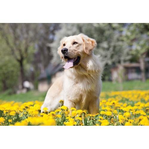 Golden Retriever - fototapet câini