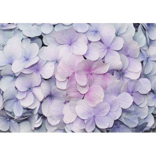 Hortensii purpurii - fototapet