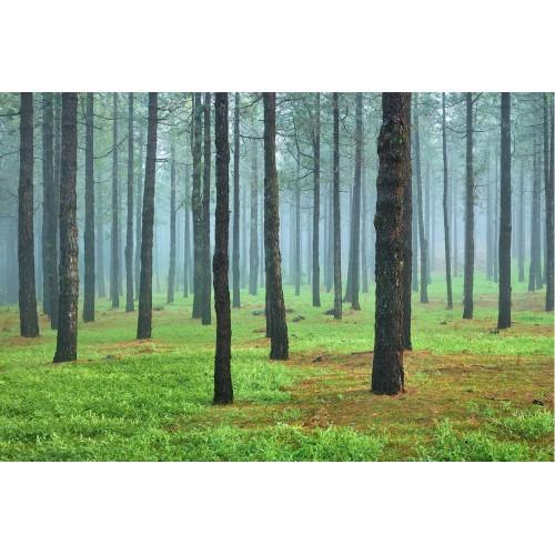 Padurea de pini - fototapet vlies