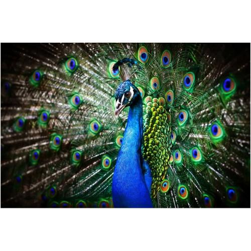 Păunul regal - fototapet animale