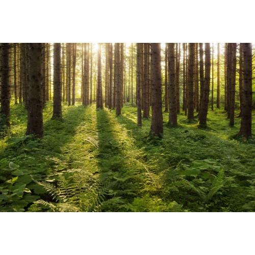 Raze de soare in padurea verde - fototapet vlies