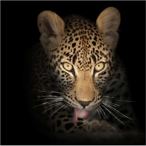 Leopardul - fototapet animale