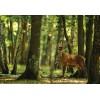 Fototapet pădure Cerbul 2287P8