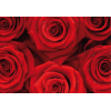 Fototapet floral Trandafiri roșii