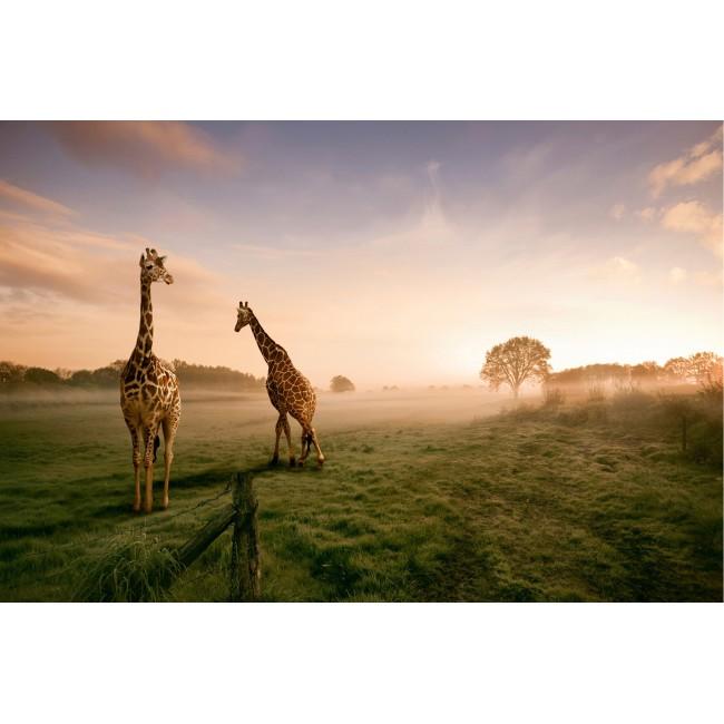 Decor cu girafe - fototapet vlies