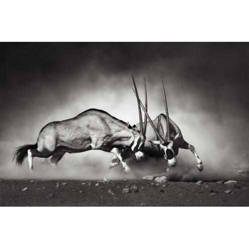 Lupta salbatica - fototapet animale