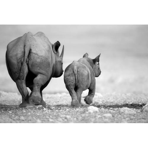 Rinoceri - fototapet animale