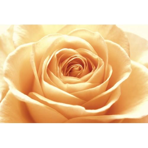 Trandafirul portocaliu roze - fototapet vlies