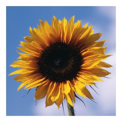 Floarea soarelui - fototapet vlies